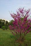 Bauhinia (CercischinensisBge) stock photo