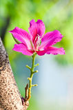 The bauhinia flower Stock Image