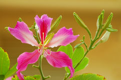 Bauhinia Flower Stock Photo