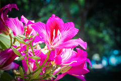 Bauhinia flower Stock Image