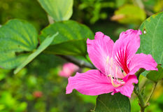 Bauhinia flower Royalty Free Stock Photography