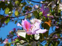 The Bauhinia Flower, in the spring, is very beautiful Royalty Free Stock Images