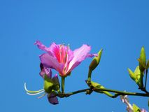 The Bauhinia Flower, in the spring, is very beautiful Royalty Free Stock Photo