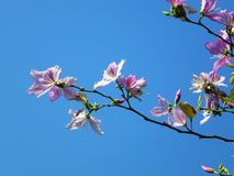 The Bauhinia Flower, in the spring, is very beautiful Stock Photo