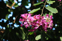 Bauhinia. Flowering plants Fabaceae tree Stock Image