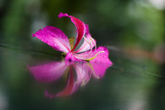 Bauhinia/Hongkong orchid flower Royalty Free Stock Photography