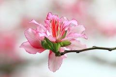 Bauhinia im Frühjahr Stockbilder
