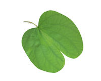 Bauhinia leaf Royalty Free Stock Photos