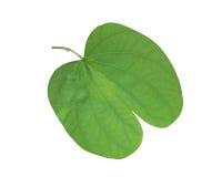 Bauhinia leaf. Green leaf isolated on white background royalty free stock photos