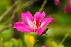 Bauhinia púrpura Foto de archivo