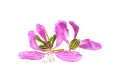Bauhinia púrpura Fotos de archivo