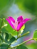 Bauhinia porpora Fotografia Stock