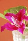Bauhinia porpora Immagine Stock