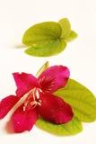 Bauhinia porpora Fotografie Stock