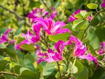 Bauhinia purpurea 001 Fotografia Stock