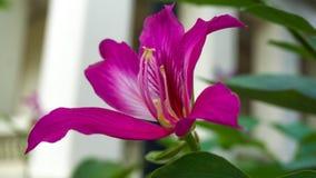 Bauhinia purpurea fotografie stock libere da diritti