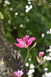 Bauhinia purpurea Stockbild