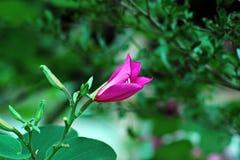 Bauhinia purpurea lizenzfreies stockfoto
