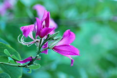 Bauhinia purpurea stockbild