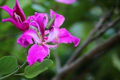 Bauhinia purpurea stockfotos