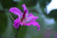 Bauhinia purpurea lizenzfreie stockfotografie