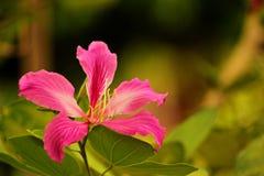 Bauhinia purpurea Zdjęcie Stock