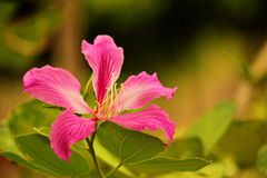 Bauhinia purpurea stockfoto