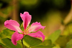 Bauhinia purpurea stockbilder