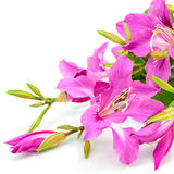Bauhinia purpurea Royalty Free Stock Photo