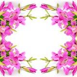 Bauhinia purpurea Royalty Free Stock Images