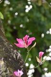 Bauhinia purpurea Stock Image