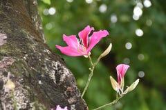 Bauhinia purpurea Stock Photos
