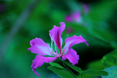 Bauhinia purpurea Stock Photos
