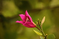 Bauhinia purpurea Royalty Free Stock Photos