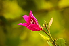 Bauhinia purpurea Stock Photo