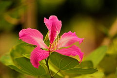Bauhinia purpurea Stock Images