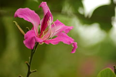 Bauhinia purpurea Royalty Free Stock Photography