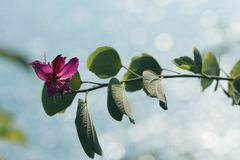 A bauhinia on sea background royalty free stock photography