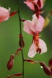 Bauhinia siamemsis lizenzfreies stockbild