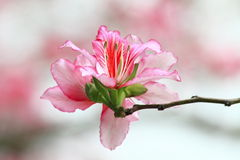 Bauhinia in spring Stock Images