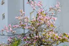 Bauhinia tree bloom, near appartment building in israel Stock Images