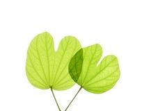 Bauhinia variegata Immagini Stock Libere da Diritti
