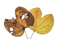 Bauhinia variegata Immagine Stock Libera da Diritti