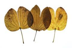 Bauhinia variegata Fotografie Stock