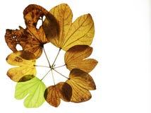 Bauhinia variegata Fotografia Stock Libera da Diritti