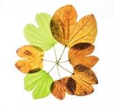 Bauhinia variegata Fotografia Stock