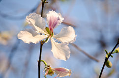 Bauhinia variegata flower Stock Photos