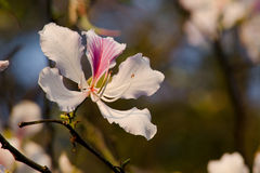 Bauhinia variegata flower Royalty Free Stock Photography