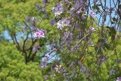 Bauhinia variegata flowers stock image