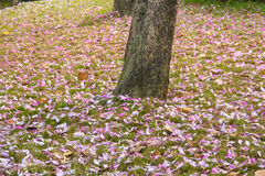 Bauhinia variegata Stock Image
